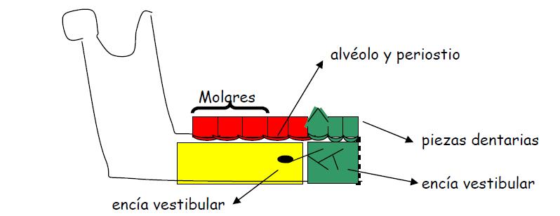 Anatomía Aplicada a la Anestesia de la Mandíbula   ODONTOMIKE